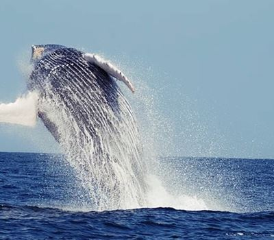 Humpback Whale Tour In Mancora